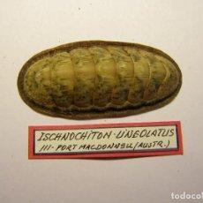 Coleccionismo de moluscos: CARACOL ISCHNOCHITON LINEOLATUS, AUSTRALIA.. Lote 128400303