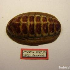 Coleccionismo de moluscos: CARACOL MOPALIA HINDISII, CANADÁ.. Lote 128402383