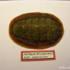 Coleccionismo de moluscos: CARACOL MOPALIA RECURVANS, WASHINGTON.. Lote 128402523