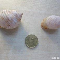 Coleccionismo de moluscos: 2 CONCHAS MARINAS (VER DESCRIPCIÓN). Lote 130796944