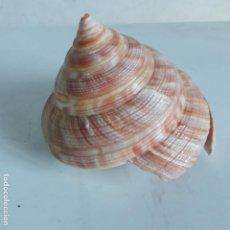 Coleccionismo de moluscos: CARACOLA PLEUROTOMUS, 93 MM. Lote 131530154