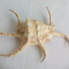 Coleccionismo de moluscos: CARACOLA DE MAR. CARACOL MARINO. CREO QUE LAMBIS CHIRAGRA. CONCHA ARAÑA.. Lote 133676826