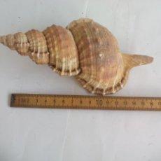 Coleccionismo de moluscos: CARACOLA DE MAR. CARACOL MARINO. CONCHA, 17 CM. Lote 133677750