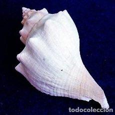 Coleccionismo de moluscos: STROMBUS PUGILIS, LONGITUD 82 MM. Lote 135183254