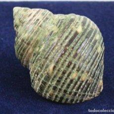 Coleccionismo de moluscos: TURBO PULCHER, 60 MM DE LONGITUD. Lote 135619450