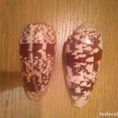 Coleccionismo de moluscos: CARACOLAS CONO. Lote 136420394