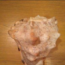 Coleccionismo de moluscos: CARACOLA. Lote 136520114