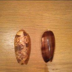 Coleccionismo de moluscos: LOTE DE CARACOLAS CAURIE. Lote 136525642
