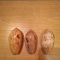 Coleccionismo de moluscos: LOTE CARACOLAS CAURIE. Lote 136525746