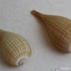 Colecionismo de moluscos: DOS EJEMPLARES DE FICUS DECUSSATA.. Lote 137401666