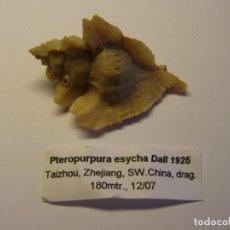Coleccionismo de moluscos: CARACOL PTEROPURPURA ESYCHA, CHINA.. Lote 137914838