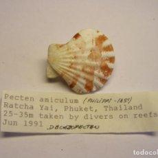 Colecionismo de moluscos: PECTEN AMICULUM. THAILANDIA.. Lote 139184070