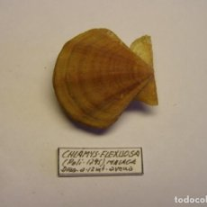 Colecionismo de moluscos: PECTEN CHLAMYS FLEXUOSA. MÁLAGA, ESPAÑA.. Lote 139184998