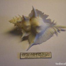 Colecionismo de moluscos: CARACOL SIRATUS ALABASTER. FILIPINAS.. Lote 139442838