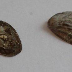 Coleccionismo de moluscos: CONJUNTO DE DOS HALIOTIS GURNERI DE LA COLECCIÓN BOLAFFI-TORINO,CON ESTUCHE.. Lote 140165154