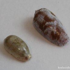 Coleccionismo de moluscos: CYPRAEA ARÁBICA Y OLIVA TREMULINA,COLECCIÓN BOLAFFI-TORINO,CON ESTUCHE. . Lote 140171314