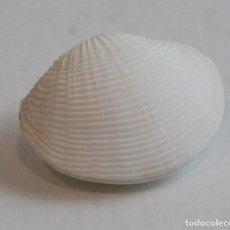 Coleccionismo de moluscos: CODAKIA TIGERINA,COLECCIÓN BOLAFFI-TORINO,CON ESTUCHE. . Lote 140177278