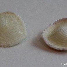 Coleccionismo de moluscos: GLOSSUS MOLTKIANUS,COLECCIÓN BOLAFFI-TORINO,CON ESTUCHE. . Lote 140180378