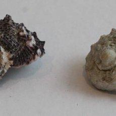 Coleccionismo de moluscos: ANGARIUS DELPHINUS,COLECCIÓN BOLAFFI-TORINO,CON ESTUCHE. . Lote 140184810
