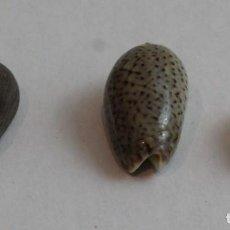 Coleccionismo de moluscos: CONUS PULICARIUS, OLIVA ELEGANS Y OLIVA MINIACEA, COLECCIÓN BOLAFFI-TORINO,CON ESTUCHE. . Lote 140205158