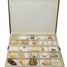 Coleccionismo de moluscos: 1930/40 COLECCIÓN MALACOLÓGICA ANTIGUA CON NOMENCLATURA - COLECCIÓN CIENTÍFICA.. Lote 140423318