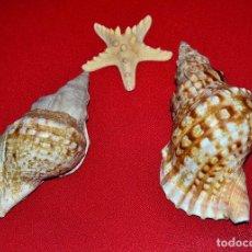 Coleccionismo de moluscos: DOS CONCHAS ANTIGUAS DE CARACOLAS Y ESTRELLA . Lote 140559902