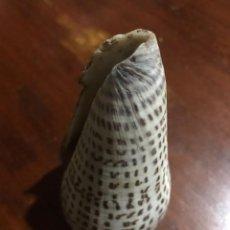 Coleccionismo de moluscos: CARACOLA DE MAR 10 X 6,5. Lote 140891826