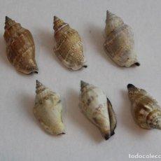Coleccionismo de moluscos: SEIS CONCHAS DEL TIPO CASSIS,COLECCIÓN BOLAFFI-TORINO,CON ESTUCHE. . Lote 141148274