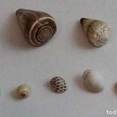Colecionismo de moluscos: CONJUNTO DE SIETE CONCHAS,DOS DEL TIPO CONUS Y CINCO NÁTICAS,COLECCIÓN BOLAFFI-TORINO,CON ESTUCHE. . Lote 141148554