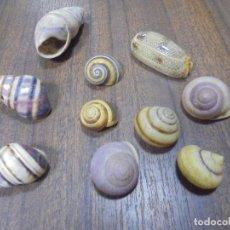 Coleccionismo de moluscos: LOTE DE POLYMITA Y CARACOLES MARINOS DE CUBA DE COLECCIONISTA PARTICULAR. VER FOTOS.. Lote 142040146