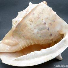 Coleccionismo de moluscos: CONCHA CARACOLA MARINA SIGLO XX. Lote 142693478