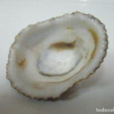Coleccionismo de moluscos: ANTIGUA CONCHA, CARACOLA MARINA - ALMEJA . Lote 143296342
