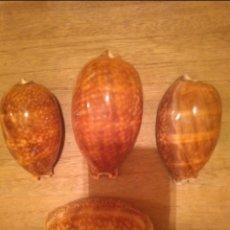Coleccionismo de moluscos: LOTE DE 4 CARACOLA CYPRAEA. Lote 143338162