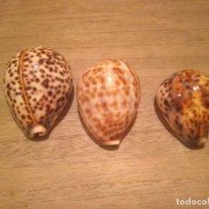 Coleccionismo de moluscos: LOTE DE 3 CARACOLAS CYPRAEA . Lote 143341458