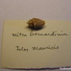 Coleccionismo de moluscos: CARACOL MITRA BEMHARDIANA, ISLAS MAURICIO.. Lote 145475042