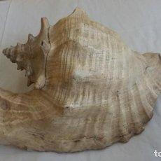 Coleccionismo de moluscos: CARACOLA DE MAR. Lote 146393950