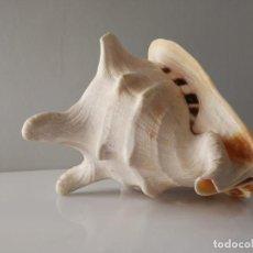 Coleccionismo de moluscos: CARACOLA DE MAR GIGANTE MALACOLOGIA ACUARIO. Lote 147350322