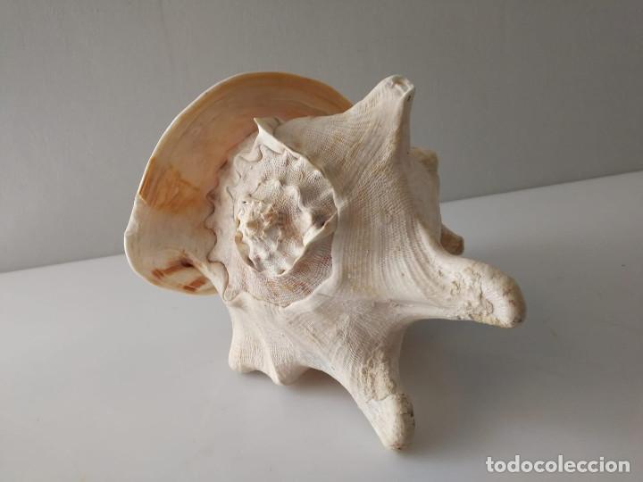 Coleccionismo de moluscos: CARACOLA DE MAR GIGANTE MALACOLOGIA ACUARIO - Foto 2 - 147350322