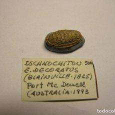 Coleccionismo de moluscos: CARACOL ISCHNOCHITON E. DECORATUS. AUSTRALIA.. Lote 148115818