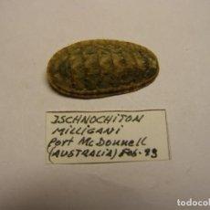 Coleccionismo de moluscos: CARACOL ISCHNOCHITON MILLIGANI. AUSTRALIA.. Lote 148116670