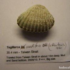 Coleccionismo de moluscos: BIVALVO TEGILLARCA NODIFERA. TAIWAN.. Lote 148146406