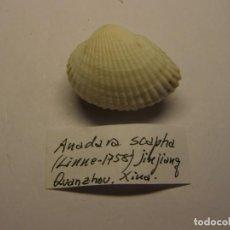 Coleccionismo de moluscos: BIVALVO ANADARA FERRUGINEA. CHINA.. Lote 148147162