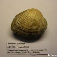 Coleccionismo de moluscos: BIVALVO KATELYSIA JAPONICA. TAIWAN.. Lote 148152530