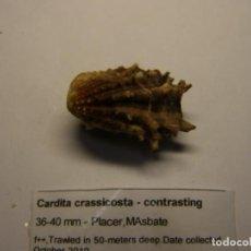 Coleccionismo de moluscos: BIVALVO CARDITA CRASICOSTA. MASBATE.. Lote 148154706