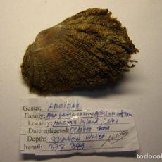Coleccionismo de moluscos: BIVALVO BARBATIA AMIGDALUNTOSUM. CEBU. . Lote 148156174