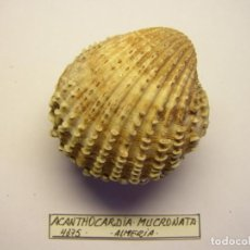 Coleccionismo de moluscos: MOLUSCO BIVALVO ACANTHOCARDIA MUCRONATA. MÁLAGA. . Lote 151186882