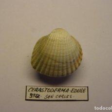 Coleccionismo de moluscos: MOLUSCO BIVALVO CERASTODERMA EDULE. TARRAGONA.. Lote 151190590
