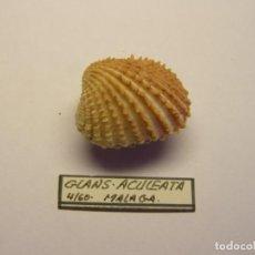 Coleccionismo de moluscos: MOLUSCO BIVALVO GLANS ACULEATA. MÁLAGA.. Lote 151190774