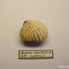 Coleccionismo de moluscos: MOLUSCO BIVALVO GLANS TRAPEZIA. CASTELLÓN.. Lote 151191042