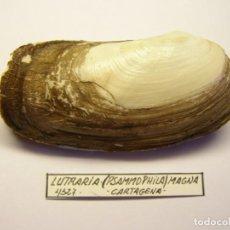 Coleccionismo de moluscos: MOLUSCO BIVALVO LUTRARIA MAGNA, MURCIA... Lote 151191918